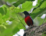 Black-headed Pitta (Black-crimson)