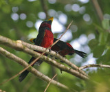 Black-red Broadbills