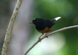 White-crowned Shama