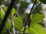 Sulphur-bellied Whistler