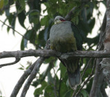 Red-eared Fruit Dove