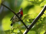 Grey-sided Flowerpecker