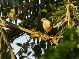 Maroon-chinned Fruit Dove