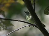 Sulawesi Leaf Warbler