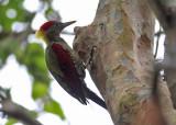 Crimson-winged Woodpecker
