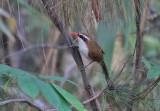 Red-billed Scimitar Babbler