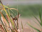 Striated Warbler (Grassbird)