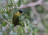 Black-headed Woodpecker