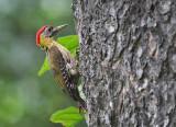 Laced Woodpecker