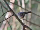 Pygmy Tit