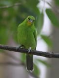 Greater Leaf-bird