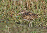 Painted Snipe, male