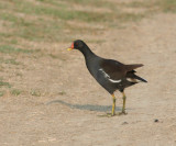 Common Moorhen.