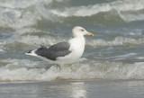 Heuglinn's Gull
