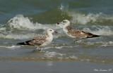 Heuglinn's and Pallas's Gull