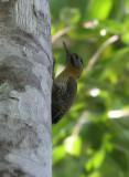 Laced Woodpecker, female