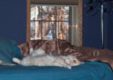 Milo the Bed Hog.jpg