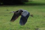 Great Blue Heron, Cuesta Park , Mountain View, CA