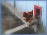 Au pas les poulets!