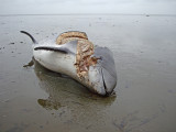 Dolphin spec.
