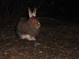 Snow Hare (?)