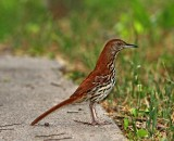 Brown Thrasher_8329.jpg