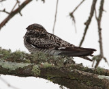 Common Nighthawk_8333.jpg