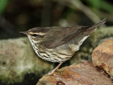 Northern Waterthrush_8515.jpg