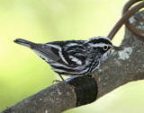 Black-and-white Warbler - male_7768.jpg