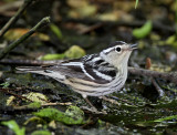 Black-and-white Warbler - female_7761.jpg