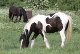 Traveller Horses