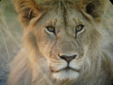 A Kenyan Lion
