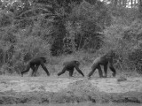 Walking Kenyan chimps