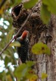 Red bellied woodpecker-11-6.jpg