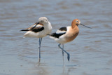 American Avocets, male and female