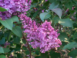 Lilac by name ...