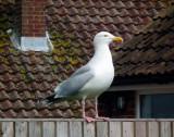 Garden Gull at home