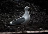 Seagulls Rule OK