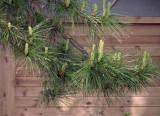 Pine against pine