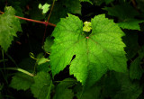 Vine leaves in the evening