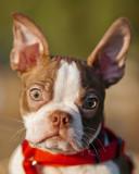 A happy French bulldog puppy