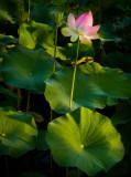 Lotus flower patch I