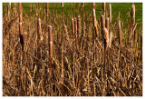 Cat tails, Kane County