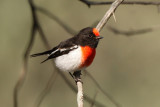 Red-capped Robin_1193b.jpg