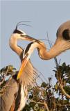Great Blue Heron Couple