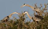 Great Blue Heron Group
