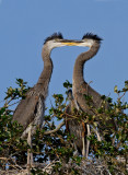 Great Blue Heron Babies