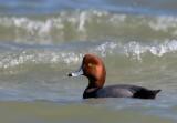Red Head in the Surf