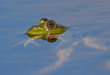 Bull Frog:  Singing in the Rain