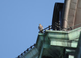 Peregrine: perched on low corner railing above roof top gutter SW corner